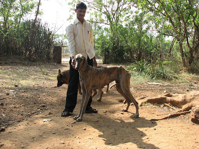 Tiger coated skin Mudhol Hound