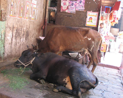 Cows grazing in Mumbadevi temple at Zaveri Bazaar