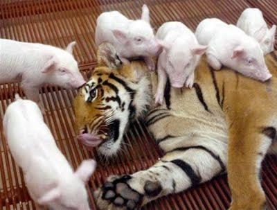 Sigue la imagen según la palabra - Página 4 Tigres+cerdos+3