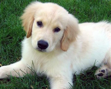 Obie Golden Retriever