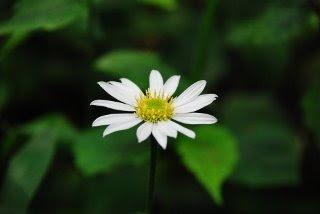 一輪の深山嫁菜(みやまよめな)