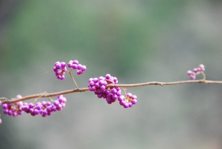 紫式部の写真