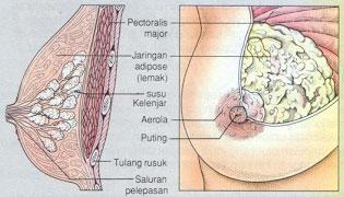 anatomi Mamae(payudara) 2