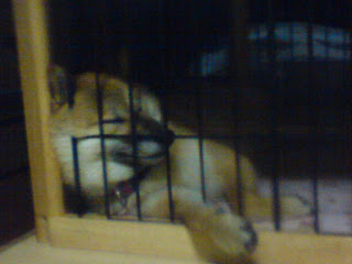 【お尻のほっぺ】ゲージの中で眠る柴犬
