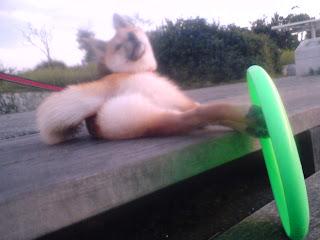 【お尻のほっぺ】フリスビーを足で持つ柴犬