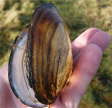 Freshwater Mussels found at Holden Wood