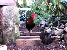 the rooster waits the hen pen