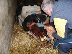 Calf coming.......