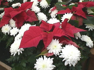 poinsettia flower wallpaper for desktops