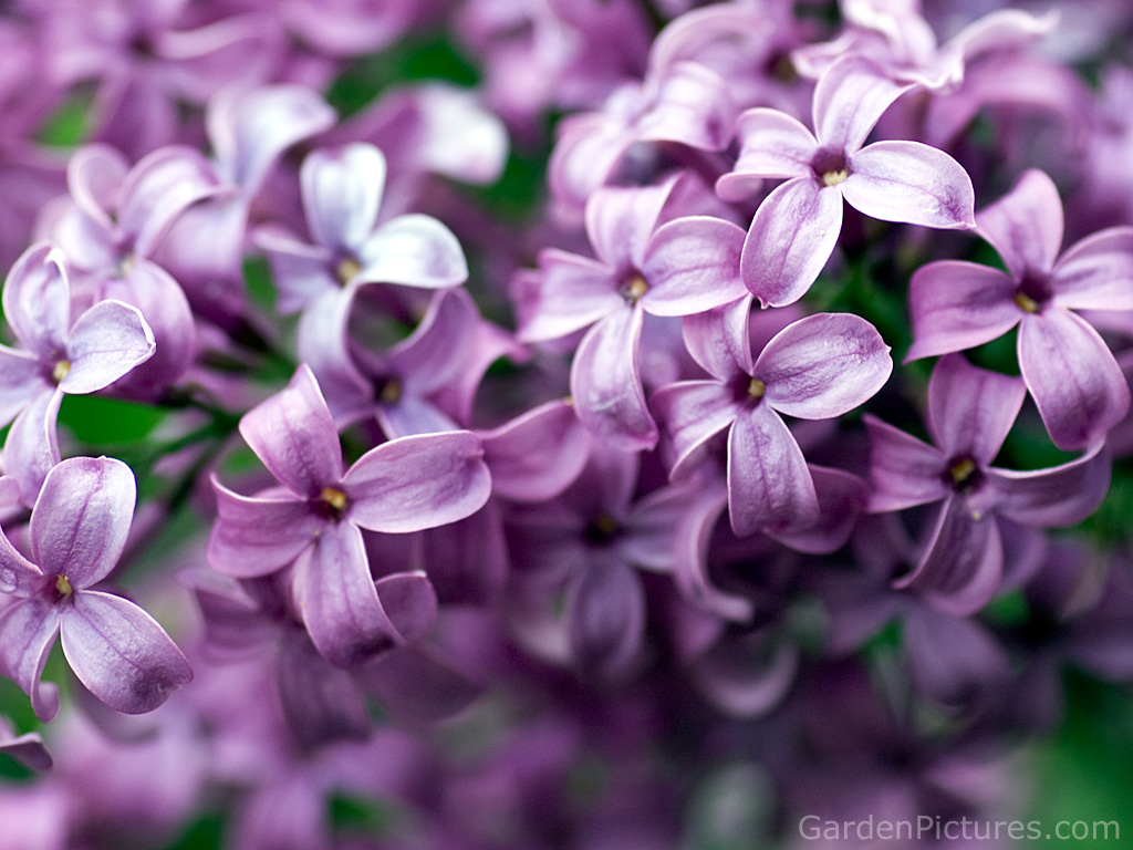 Lilacs - Lovely Little Things