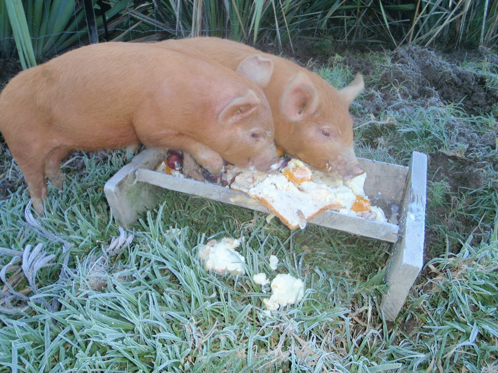 Pigs at the trough