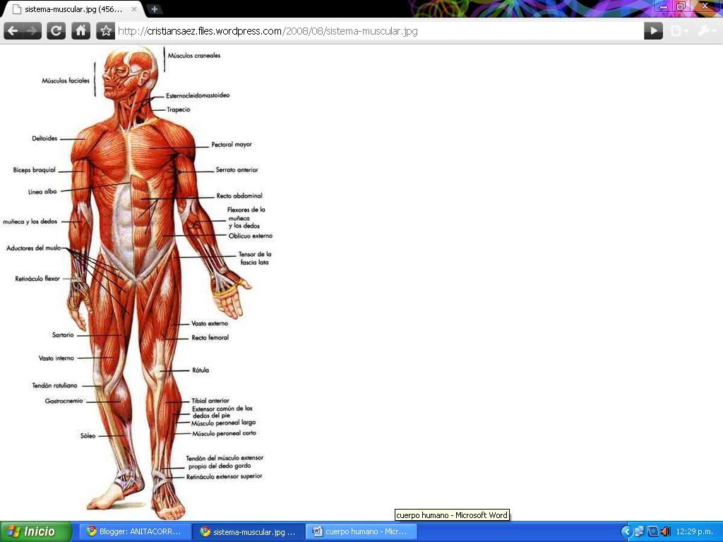 ANITACORREASENA: sistemas del cuerpo humano