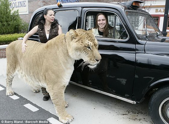 [Hercules+-+World's+Largest+Big+Cat+06_resize.jpg]