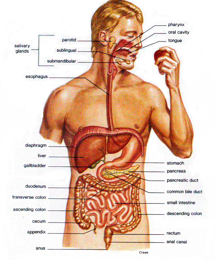 basic health: Familiar With Our Digestive System