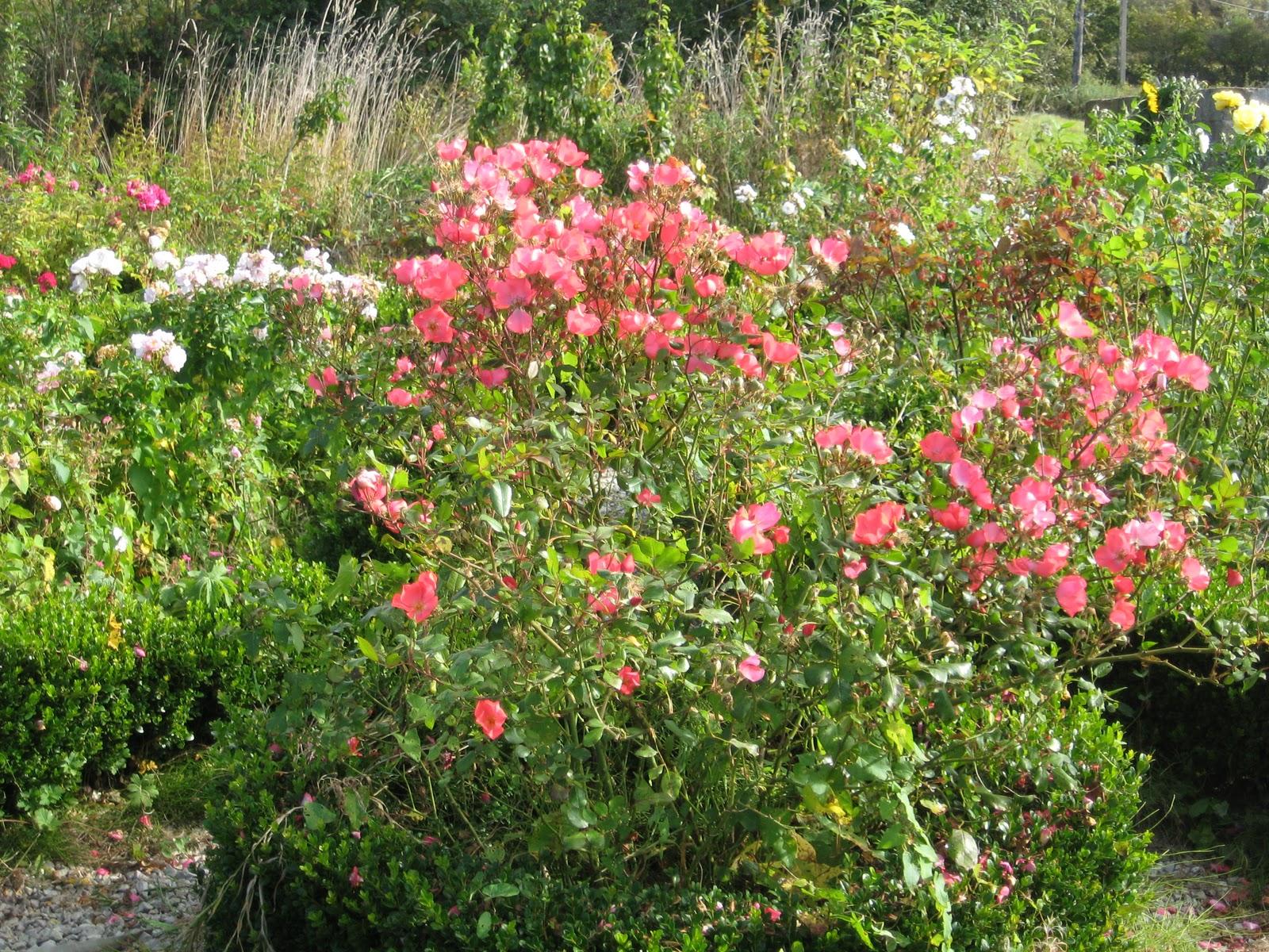 Le jardin de nachu automne - Rosier douceur normande ...