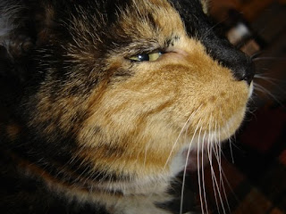 A calico cat with white, brown and black patches, its face sideways, looking out the corner of its eye