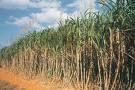 Proses Pembuatan Gula Pasir