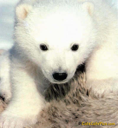 cute baby polar bear pic