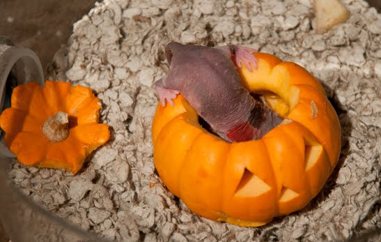 join the party animals at pacific science center this weekend and watch our naked mole rats celebrate halloween costumes are encouraged but not required