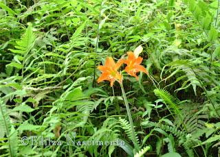 Jardim-Amarilis