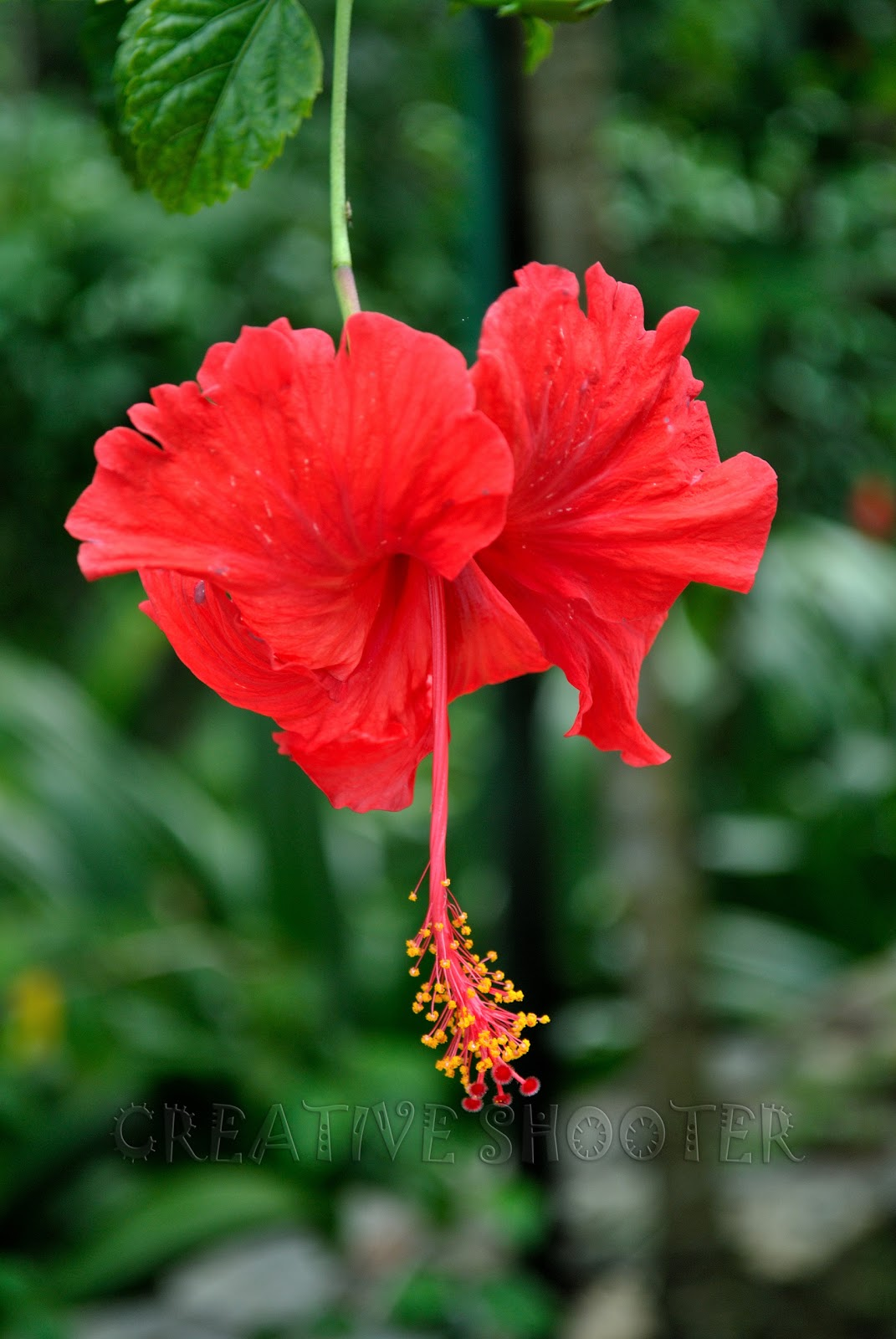 Cls images hibiscus malaysia national flower hibiscus malaysia national flower izmirmasajfo