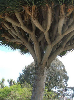 Facts Around Us Rare Dragon S Blood Tree In Indian Ocean