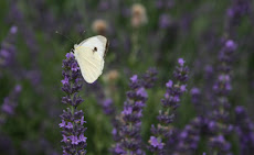 Farfalla su lavanda viola