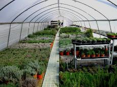 La nostra serra di piante lavanda ed aromatiche in vendita