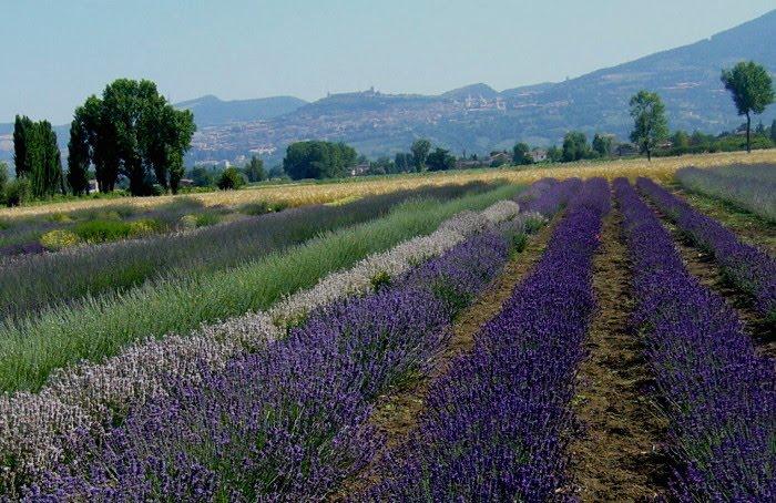 Vista Assisi e del lavandeto vai al sito ufficiale www.illavandeto.com