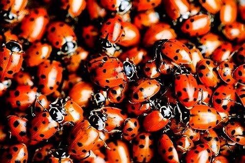 [Image: ladybugs.jpg]