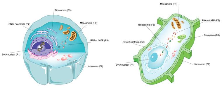 imagenes de la celula vegetal. wallpaper celula animal y sus partes. celula vegetal partes.
