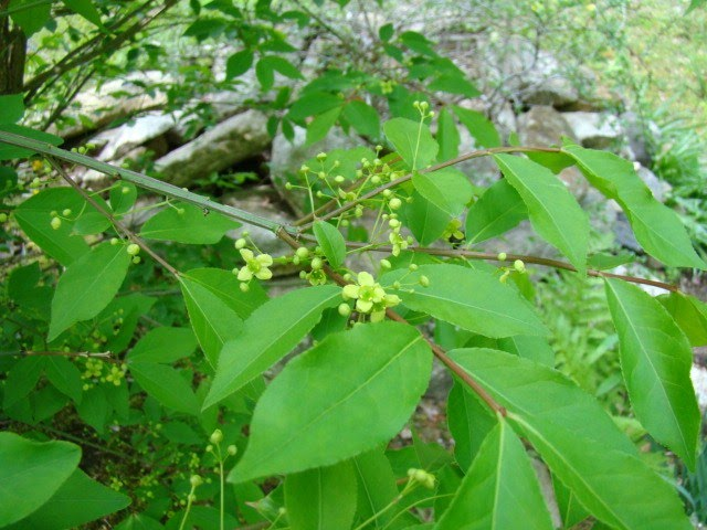 Tree vine and shrub project opposite elliptical finely serrated leaves that are dark green in summer and scarlet in fall small creamy greenish yellow flowers in spring mightylinksfo