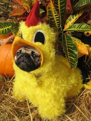 funny pictures of dogs in costumes. Dog in chicken costume
