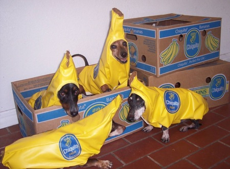 Dogs wearing banana costumes & Dogs Wearing Costumes - Cute Pictures of Dogs in Costumes: Dogs ...