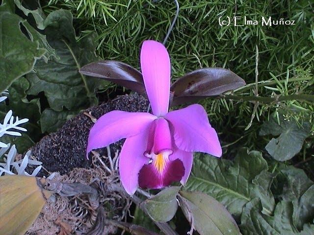 Cattleya Violácea