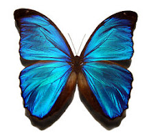 Amazing Morpho Butterfly