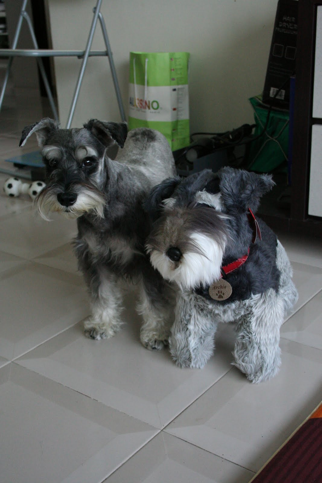 archie the salt and pepper minature schnauzer