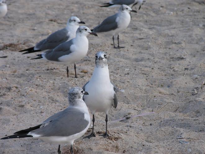 Begging Seagull