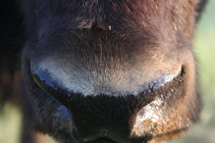 Buffalo Nose