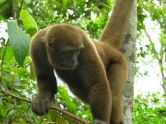 Mico Choro de Amazonas (Lagothrix lagothricha)