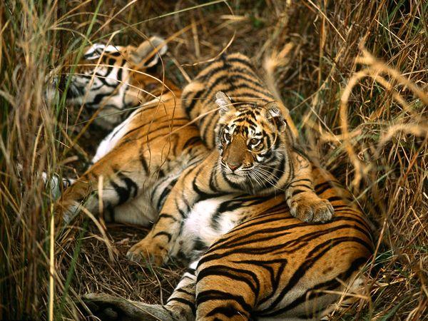 http://1.bp.blogspot.com/_NYttquK93yM/TQBTLl4jEKI/AAAAAAAAAvk/xK5efeKsMiE/s1600/bengal-tigers_10_600x450.jpg