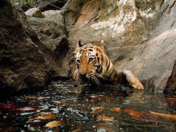 http://1.bp.blogspot.com/_NYttquK93yM/TQBTM08fbBI/AAAAAAAAAvo/dPpop1MeSqY/s1600/tiger-bathing-in-pool_20243_600x450.jpg
