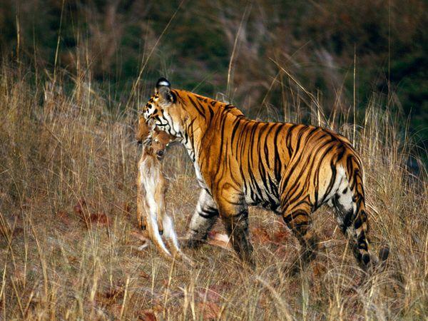 http://1.bp.blogspot.com/_NYttquK93yM/TQBTO62cqgI/AAAAAAAAAvw/Xlwx42i16xc/s1600/tiger-carting-off-kill-prey_20244_600x450.jpg