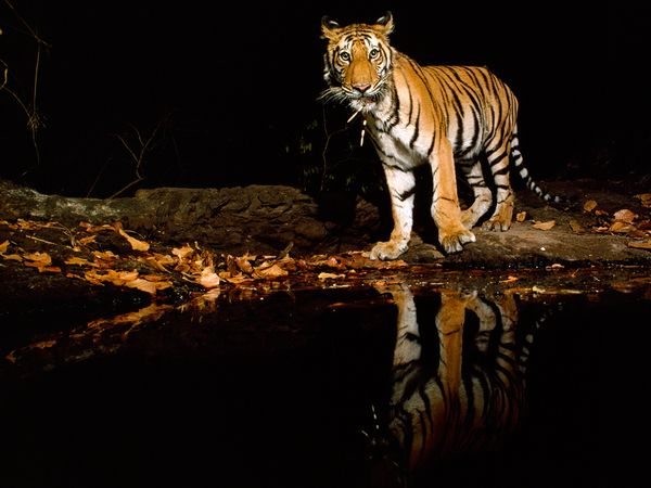 http://1.bp.blogspot.com/_NYttquK93yM/TQBTSpu1FiI/AAAAAAAAAwA/6xi_3jnPmug/s1600/tiger-reflected-pool-night_20247_600x450.jpg