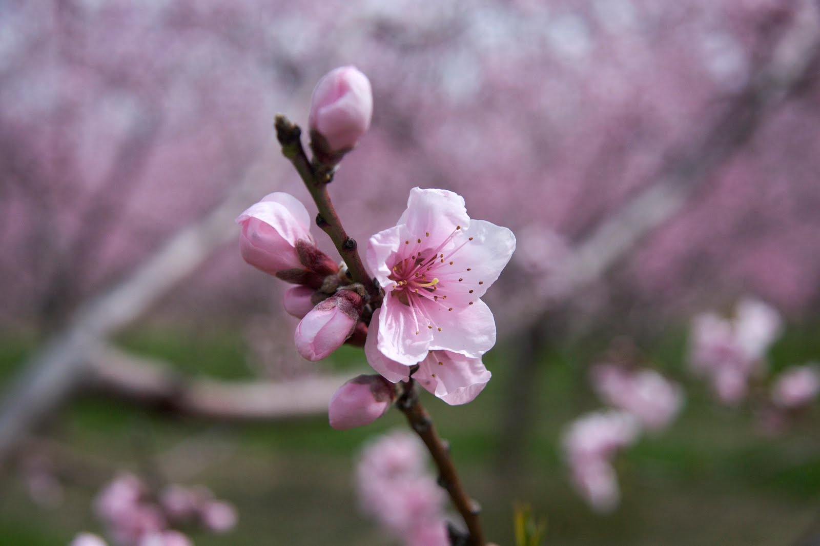 How to draw peach blossoms