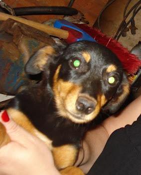 Pedrita, filhotinha adotada do Zoonose e adotada pela Pipoca