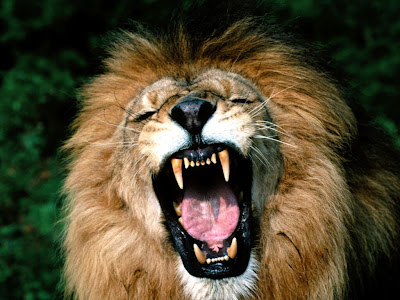 Roaring African Lions Image