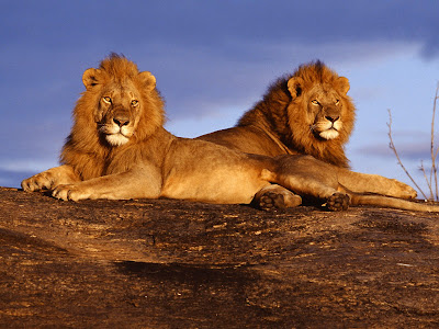 African lions masai mara kenya picture