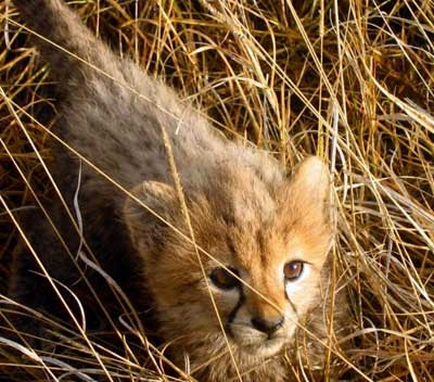 Cheetah Cub Photo