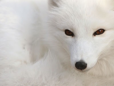 Arctic Animal Fox Wallpaper